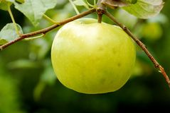 Yellow Apple Tree Royalty Free Stock Photo