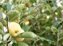 Yellow apple on a young tree Royalty Free Stock Photography