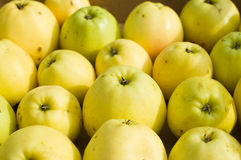 Yellow apples. Many yellow apples after harvest Stock Photos