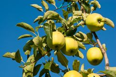 Yellow apples Stock Images