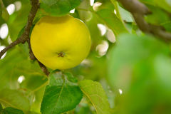 Yellow apples Royalty Free Stock Photos