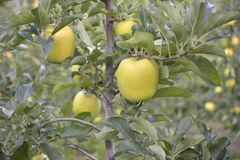 Yellow apples on apple tree branch Royalty Free Stock Photography