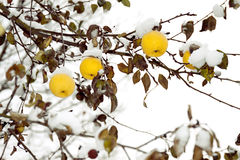 Yellow apples on an apple-tree under snow Royalty Free Stock Images