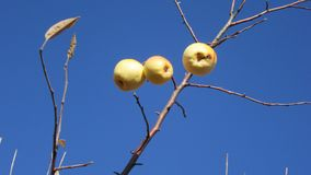 Yellow apples on a branch without leaves stock photo