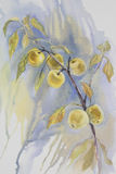 Yellow apples branch watercolor. Still-life on blue background Stock Images