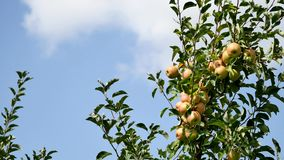 Yellow apples grows on a branch among the green foliage against a blue sky.  stock footage