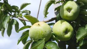 Yellow apples grows on a branch among the green foliage against a blue sky.  stock video