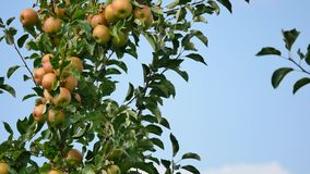 Yellow apples grows on a branch among the green foliage against a blue sky Royalty Free Stock Images