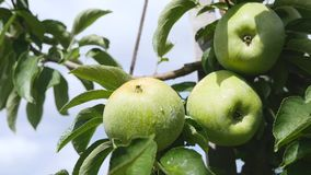 Yellow apples grows on a branch among the green foliage against a blue sky Stock Images