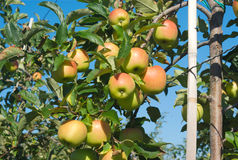 Yellow apples hanging in a tree at the orchard Royalty Free Stock Photos