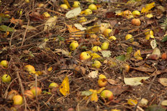 Apples on the ground in autumn. Yellow apples lieing on the ground in the autumn garden Stock Image