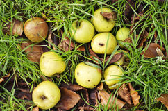 Yellow apples on an orchard green grass background Royalty Free Stock Photos