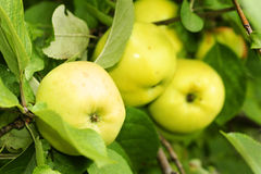 Yellow apples in tree. Organic ripening yellow golden delicious apple up in a tree, fall season or food background Royalty Free Stock Images