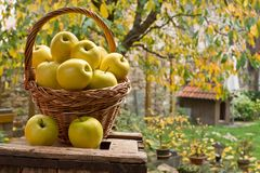 Yellow apples in the wicker basket royalty free stock photos