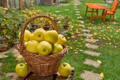 Yellow apples in the wicker basket stock images