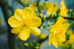 Yellow apricot blossom blooming | Mai blossom in Vietnam Tet holiday stock image