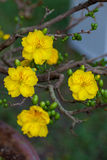 Yellow Apricot blossom closeup ,the flowers of traditional new year Stock Photos