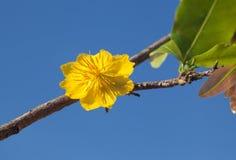Yellow Apricot blossom closeup ( Hoa mai ) in the blue sky Royalty Free Stock Photos