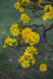 Yellow Apricot blossom closeup ( Hoa mai ) ,the flowers of traditional new year Stock Photo