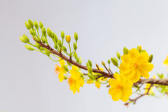 Yellow Apricot blossom closeup ( Hoa mai ) Royalty Free Stock Photo