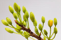 Yellow Apricot blossom closeup Stock Images