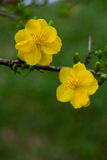 Yellow Apricot blossom closeup ( Hoa mai ) Royalty Free Stock Photography
