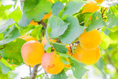Yellow apricots on a branch among green foliage, close-up Royalty Free Stock Images