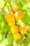 Yellow apricots on a branch among green foliage Royalty Free Stock Image