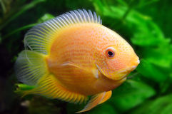 Yellow aquarium fish. On a background of green vegetation Stock Photography