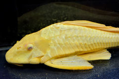 A yellow aquarium fish. A yellow beautiful aquarium fish as pet, is staying in water Royalty Free Stock Image