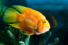 Yellow aquarium fish near corals Royalty Free Stock Image