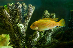 Yellow aquarium fish near corals Royalty Free Stock Photo