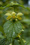 Yellow archangel Stock Images