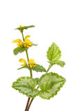 Yellow Archangel Stock Photos