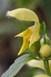 Yellow Archangel Royalty Free Stock Image