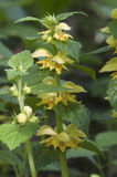 Yellow archangel plant Stock Image