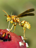 Yellow Arizona Wasp on Cactus Fruit Royalty Free Stock Photo