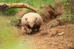 Yellow armadillo. Strolling on the soil Royalty Free Stock Image