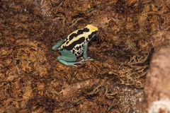 Yellow arrow poison frog with black dots Stock Photos