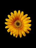 Yellow artificial flower. On black Royalty Free Stock Photos