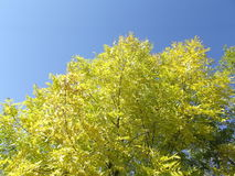 Yellow ash foliage in the sun, in the autumn. A large tree from below. The leaves hold tightly to the branches, but soon all will fall and will be collected stock image