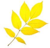 Yellow ash leaf Royalty Free Stock Photos