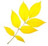 Yellow ash leaf Royalty Free Stock Photos