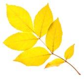 Yellow ash leaf Royalty Free Stock Photo