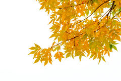 Yellow Ash Tree Leaves. Ash tree branch with yellow leaves in autumn, isolated on white background stock photos