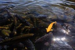 Yellow Asian carp swiming in a super clear pound. At Kawaguchi Royalty Free Stock Photography