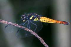 Yellow asian dragonfly Royalty Free Stock Photos