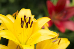 Yellow asian lily flower Stock Photos