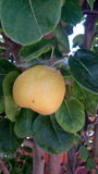 Yellow Asian pear, Pyrus pyrifera Royalty Free Stock Photo