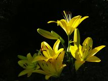 Yellow Asiatic Hybrid Lilies. Sunlit cluster of upfacing yellow lilies blooms and buds against shaded background. The contrast of upward facing bright lines Royalty Free Stock Photos